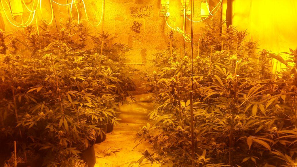 חממת הסמים שתפסה המשטרה במטה בנימין.צילום דוברות המשטרה