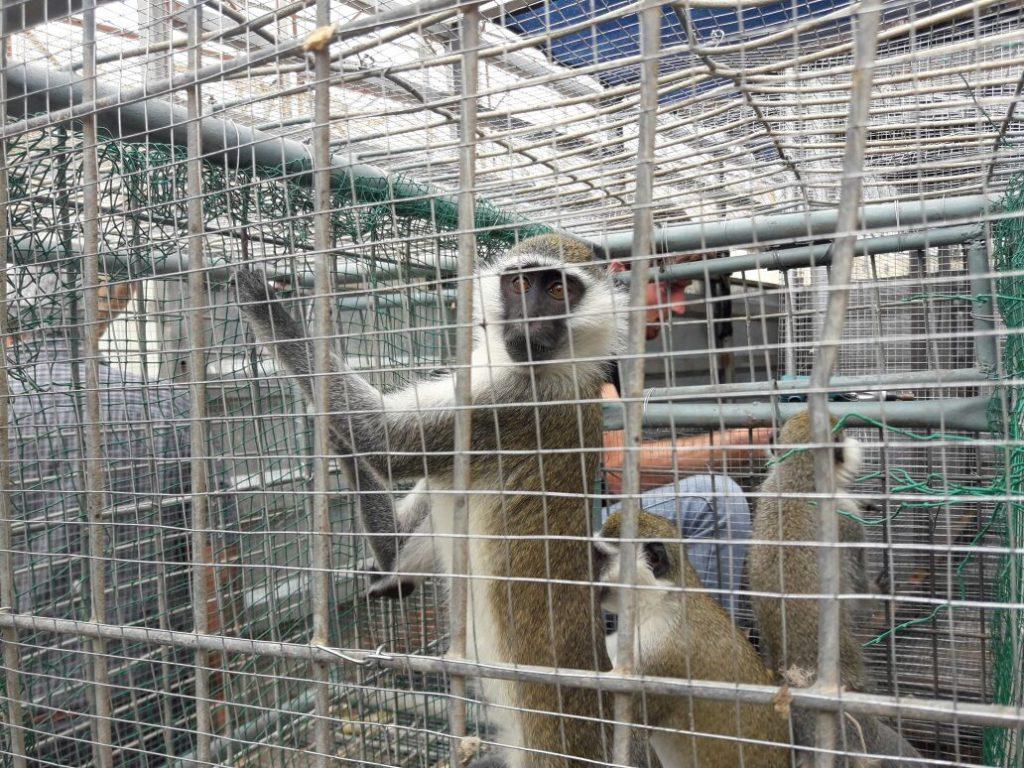 12 קופים ו – 2 צבים הועברו מגן החיות ברפיח לישראל דרך מעבר ארז