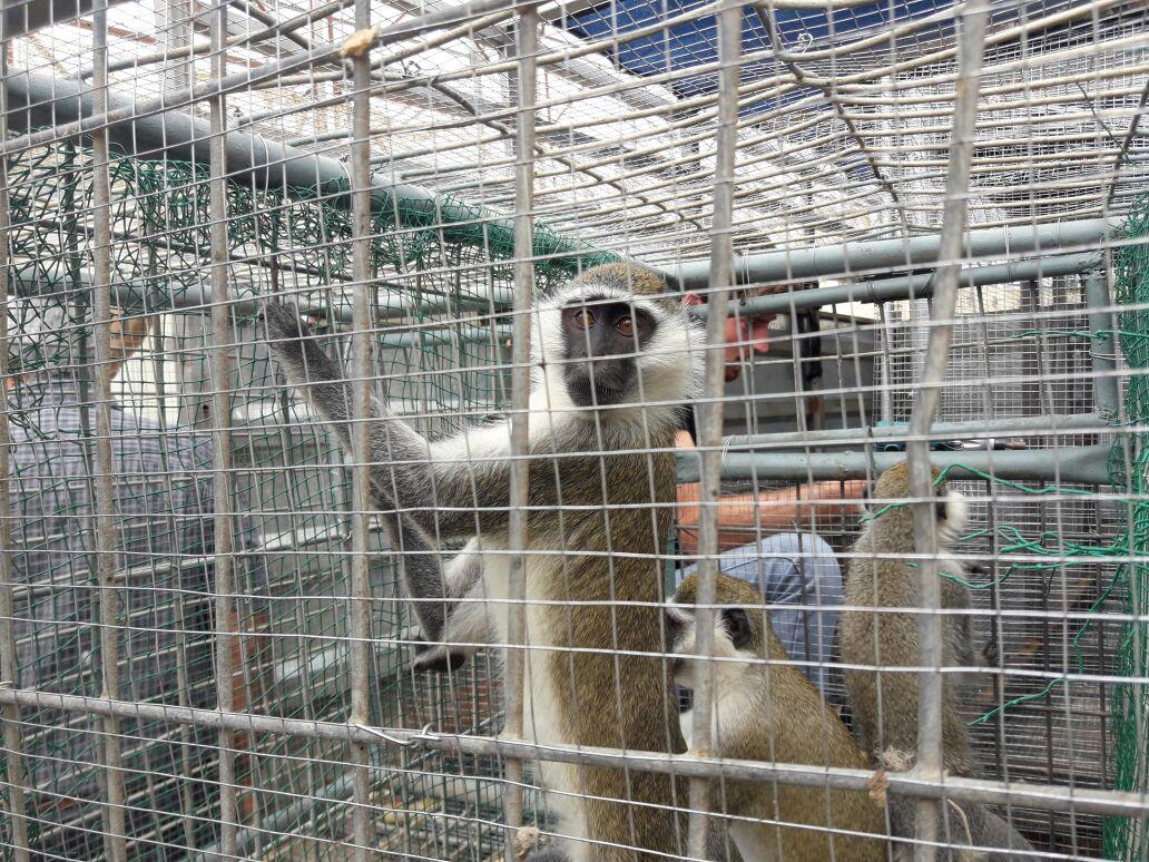 """העברת קופים שהיו בגן החיות ברפיח צילום דוברות מתפ""""ש"""