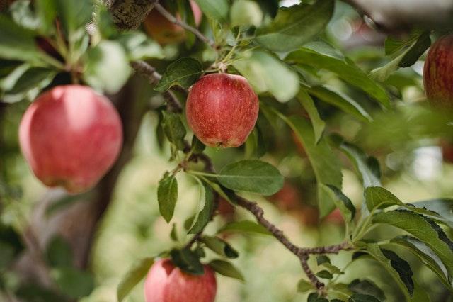 איזה עצי פרי מומלצים לשתילה בגינה?